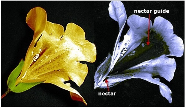 "Images of a Mimulus flower in visible light as seen by humans (left), and ultraviolet light as seen by bees, butterflies, and other insects (right), showing a dark strip called a ""nectar guide"" directing pollinators to their target."