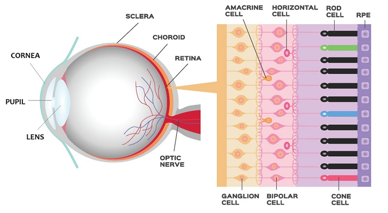 A diagram of the structures of the human eye including the pupil (where light enters the eye), and the cornea and lens, which both help focus the light onto the retina, where rods and cones are found.