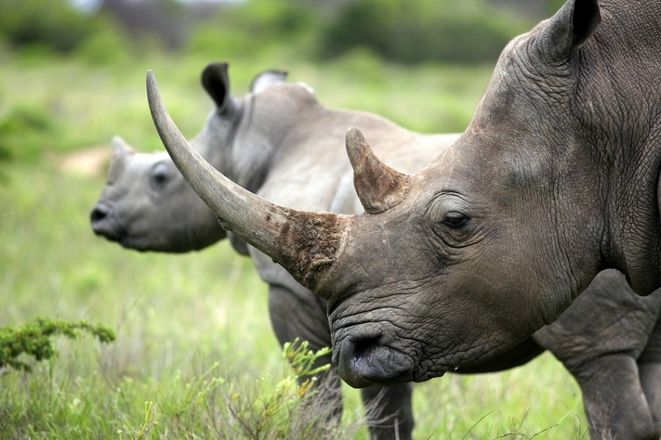 New Sensor Technology to Help Thwart Poachers of Endangered Rhinos
